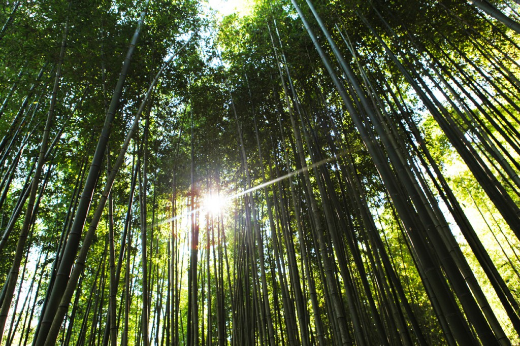 Bamboo grove with sun
